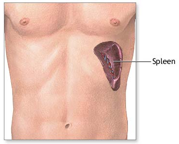 Know about Spleen Introduction